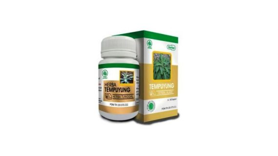Obat Herbal Tempuyung Mengobati Batu Ginjal